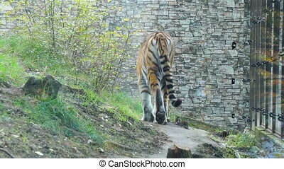 Tiger walks in the enclosure of the zoo - Amur tiger walks...
