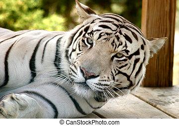 tiger, weißes, faulenzend