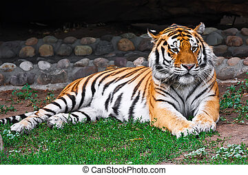 Tiger - Wild and agressive Bengal tiger in zoo