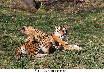 Tiger with cub - details of a tigress with her cub in ...