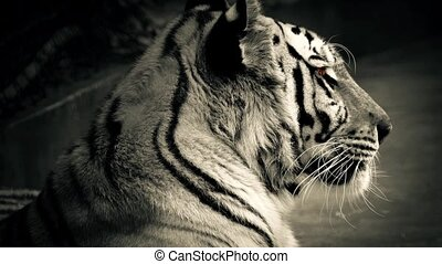 Tiger With Glowing Orange Eyes - Large Bengal tiger with...