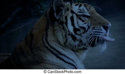 Tiger Yawns In The Evening - Tiger yawns and looks around at...