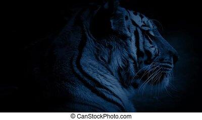 Tiger Yawns In The Night