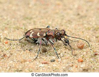 Tigerbeetle - Small predatory beetle, tigerbeetle (Cicindela...