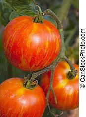Tigerella heirloom tomato ripening on the vine or plant