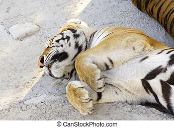 Tigers asleep