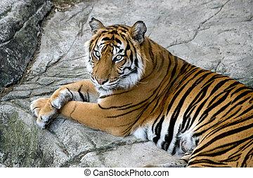 Tigers Gaze - A portrait of a beautiful tiger.