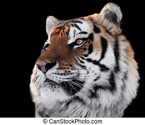 Tigers head with bright eyes close-up isolated on black