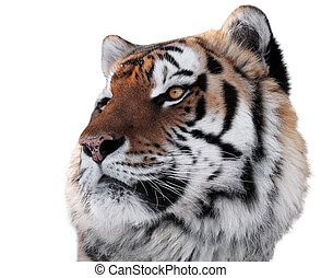 Tigers head with bright eyes close-up isolated on white
