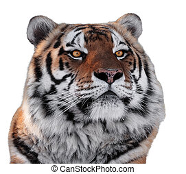 Tigers head with yellow eyes close-up isolated on white