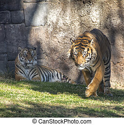 Tigers in enlosure