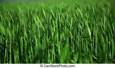 tiges, jeune, blé, wind., vert, vaciller, champ