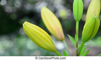 Tight buds of yellow lily in garden - Tight buds of yellow...