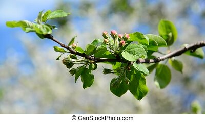 Tight buds on apple tree in spring - Tight buds on apple...