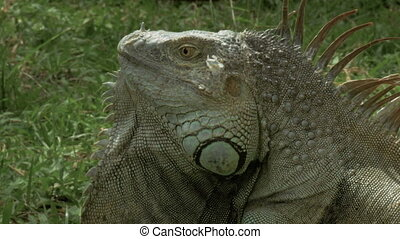Tight shot of a wild iguana - 4K footage of a wild iguana,...