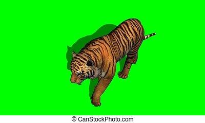 tigre, -, écran, vert, promenades