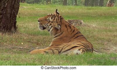 tigre, 02