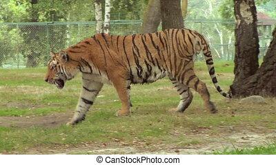 tigre, 03