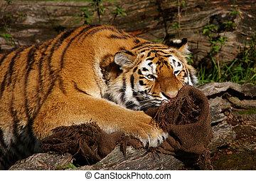 tigre, agarrado