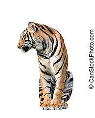 tigre, aislado, bengala