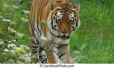 tigre, aller