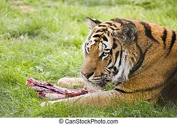 tigre, amur, comida, siberiano