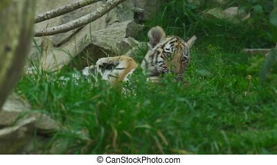 tigre, babys