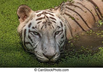 tigre bengal branco, retrato, closeup, tiro cabeça