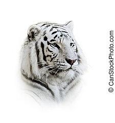 tigre bengal branco, retrato