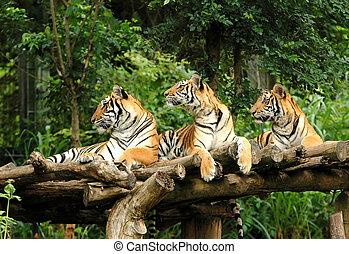 tigre, bengala