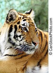 tigre bengala