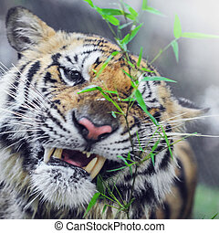 tigre bengala, retrato