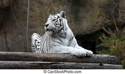 tigre, blanc, mensonge, délassant, dehors