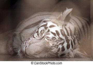 tigre, blanco, bengala