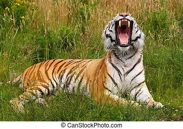tigre, bostezando, siberiano