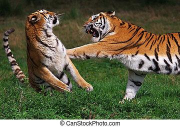tigre, boxeo, siberiano