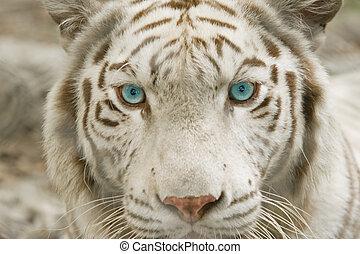 tigre, cierre, albino, arriba, cara