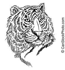tigre, croquis