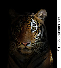 tigre de bengala, cabeza
