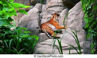 tigre, dehors, mensonge, délassant, bengale