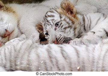 tigre, diminuto