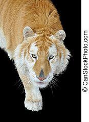 tigre, doré, tabby