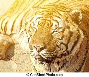 tigre portrait bengale photo de stock rechercher. Black Bedroom Furniture Sets. Home Design Ideas