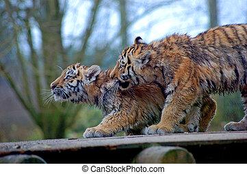 tigre, dos, cachorros
