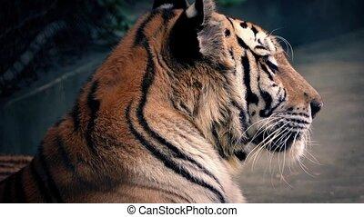 tigre, growls, bâiller