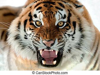 tigre, gruñir, siberiano