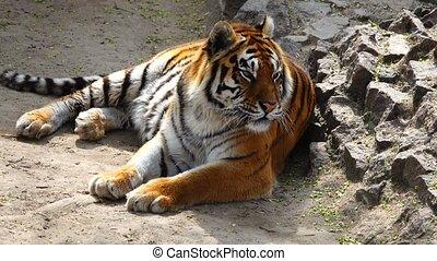 tigre, habitat