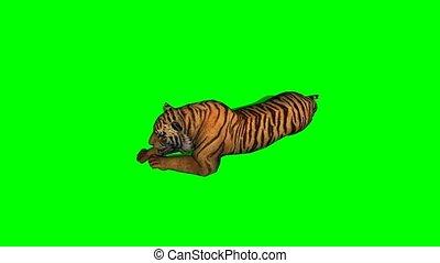 tigre, -, inactif, vert, écran