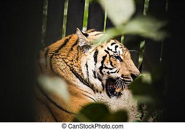 tigre, indochinese