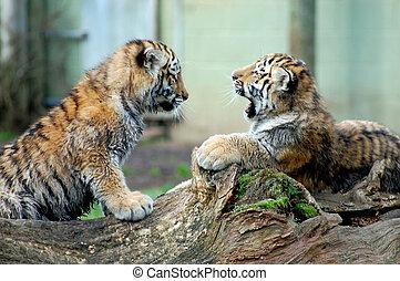 tigre, juego, cachorros